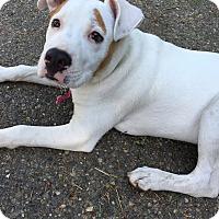 Adopt A Pet :: Champ - Tumwater, WA