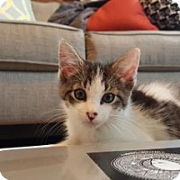 Adopt A Pet :: Paxson - New York, NY