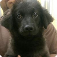 Finnish Spitz Mix Puppy for adoption in Columbia, South Carolina - Midnight