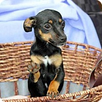 Adopt A Pet :: PUPPY CHOCOLATE CHIP - Hagerstown, MD