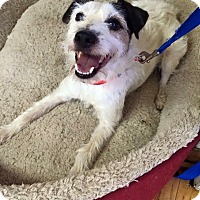 Jack Russell Terrier Dog for adoption in Blue Bell, Pennsylvania - Rocket