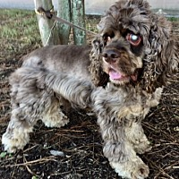 Cocker Spaniel Dog for adoption in Sugarland, Texas - Scooby