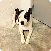 Pit Bull Terrier/Bulldog Mix Dog for adoption in Paducah, Kentucky - Lola