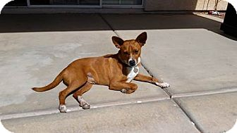 Australian Kelpie/Basenji Mix Dog for adoption in Mesa, Arizona - Rogan
