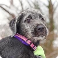 Adopt A Pet :: PUPPY ROSEBUD - Norfolk, VA