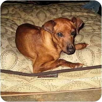 Miniature Pinscher Dog for adoption in Phoenix, Arizona - General Red