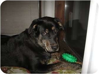 Labrador Retriever/Rottweiler Mix Dog for adoption in Montreal, Quebec - Cookie