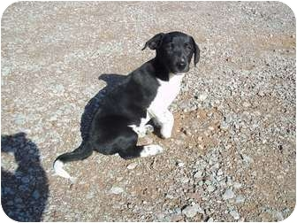 Basset Hound/Labrador Retriever Mix Puppy for adoption in Adamsville, Tennessee - Oreo