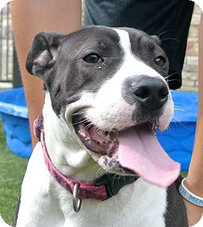 American Pit Bull Terrier Mix Dog for adoption in white settlment, Texas - Bailey