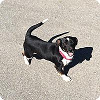 Adopt A Pet :: Sam - CHESTERFIELD, MI