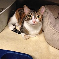 Calico Cat for adoption in Whitestone, New York - Pheonix