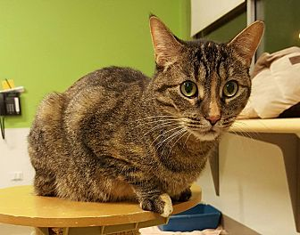 Domestic Shorthair Cat for adoption in Chicago, Illinois - Glurna