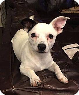 Chihuahua/Dachshund Mix Puppy for adoption in phoenix, Arizona - Patch