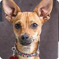 Chihuahua/Terrier (Unknown Type, Medium) Mix Dog for adoption in Pt. Richmond, California - KARA