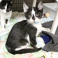 Adopt A Pet :: Smudge - Medina, OH