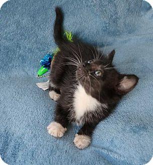 Domestic Shorthair Kitten for adoption in Mackinaw, Illinois - Belle