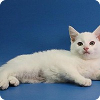 Adopt A Pet :: Snowy - Overland Park, KS