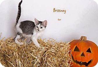 Domestic Shorthair Kitten for adoption in Yucca Valley, California - BRITTNEY