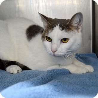 Domestic Shorthair Cat for adoption in Wheaton, Illinois - Suji