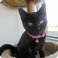Domestic Shorthair Kitten for adoption in Livonia, Michigan - Sabrina