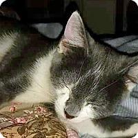 Domestic Shorthair Cat for adoption in Denver, Colorado - Sugaree