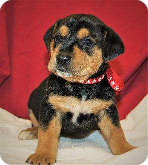 Rottweiler/Labrador Retriever Mix Puppy for adoption in Brattleboro, Vermont - Danica ~ ADOPTED!