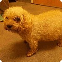 Adopt A Pet :: *COTTON - Upper Marlboro, MD