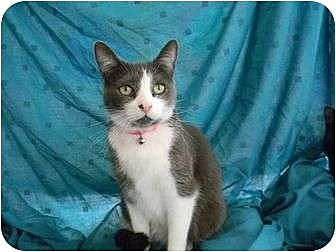 Domestic Shorthair Cat for adoption in Bay City, Michigan - Bandie