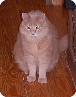 Domestic Longhair Cat for adoption in Summerville, South Carolina - J.J.