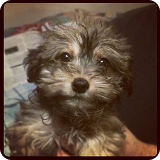 Yorkie, Yorkshire Terrier/Poodle (Miniature) Mix Puppy for adoption in Louisville, Kentucky - Winona