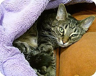 American Shorthair Cat for adoption in Belton, Missouri - Chance