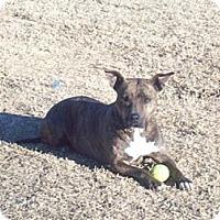 Adopt A Pet :: Heather: Pit Bull Terrier, Dog - Southampton, PA