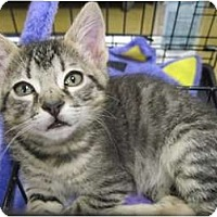 Adopt A Pet :: Feisty Tigger - The Colony, TX