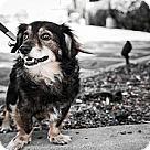 Adopt A Pet :: Dashiel