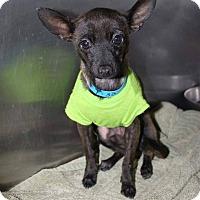 Adopt A Pet :: Guiness - Scottsdale, AZ