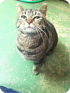 Domestic Shorthair Cat for adoption in Frankenmuth, Michigan - Mela