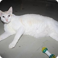 Domestic Shorthair Cat for adoption in Venice, Florida - Clarke Gable