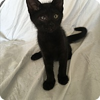 Domestic Shorthair Kitten for adoption in Wayne, New Jersey - Landry