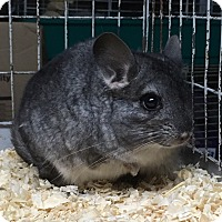 Adopt A Pet :: 3.5 m dwarf female chinchilla - Hammond, IN