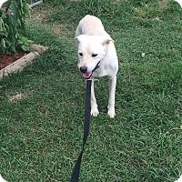 Labrador Retriever Mix Dog for adoption in Springfield, Missouri - Bear