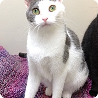 Domestic Shorthair Cat for adoption in Willmar, Minnesota - Paris