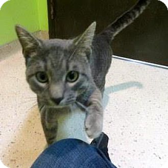 Domestic Shorthair Cat for adoption in Janesville, Wisconsin - Dobby
