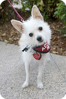 Terrier (Unknown Type, Small) Mix Dog for adoption in Van Nuys, California - Ollie Wiggles