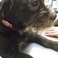 Adopt A Pet :: Mtn. Dew - Pensacola, FL
