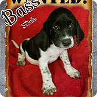 Adopt A Pet :: Bass ADOPTION PENDING - Manchester, CT