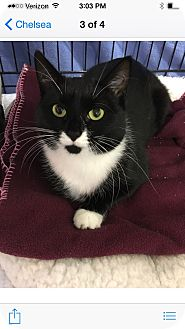 Domestic Shorthair Cat for adoption in Albany, New York - Penelope
