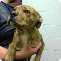 Adopt A Pet :: VENKMAN - Atlanta, GA