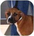 Boxer Puppy for adoption in Sunderland, Massachusetts - Big Ann