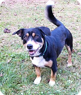 huckleberry adopted dog mocksville nc corgibernese