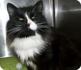 Domestic Longhair Cat for adoption in Grants Pass, Oregon - Holly